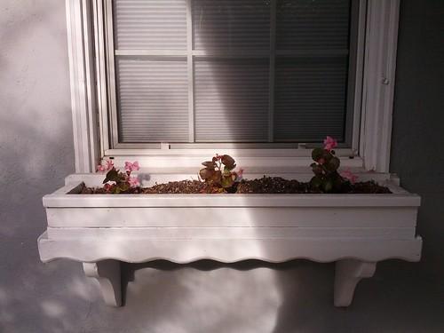 Begonias, November 22