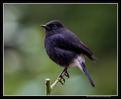 The Pied Bush Chat