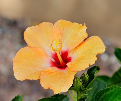 arizona usa nikon hibiscus buckeye nikond3 hibiscuswonder nikonafnikkor180mmf28difedlens