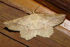 # 6737 – Euchlaena tigrinaria – Mottled Euchlaena Moth