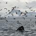 Humpback Whale lunge feeding (Tim Melling)