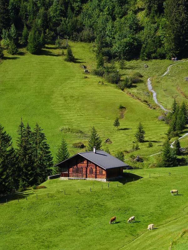 Clásica casa suiza con su praderita, vacas y bosque de abetos al fondo