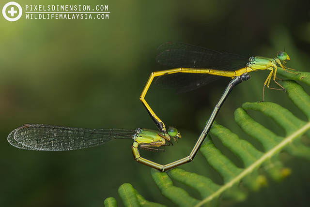 "A mating pair of ""Deceptive"" Coraltails- Ceriagrion fallax pendleburyi ♂♀"