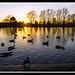 Ducks and Geese by veggiesosage