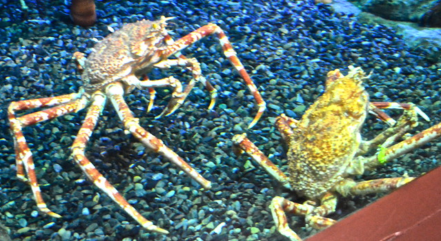 atlanta georgia aquarium - giant crabs