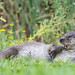 Otter (Lutrinae)
