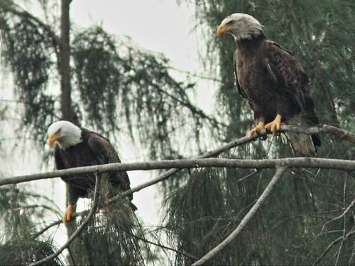 Bald Eagle male and female interacting 06-20141207