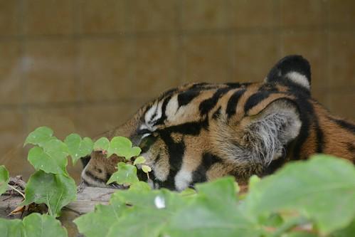Sumatratiger im Zoo de La Flèche