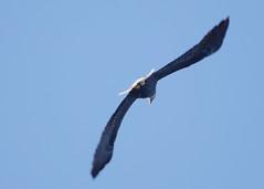 vulture(0.0), buzzard(0.0), condor(0.0), animal(1.0), hawk(1.0), bird of prey(1.0), eagle(1.0), wing(1.0), fauna(1.0), bald eagle(1.0), accipitriformes(1.0), beak(1.0), bird(1.0), flight(1.0),