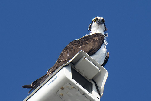 Florida: Osprey on the Watch