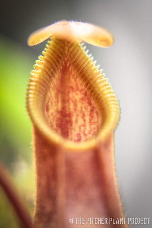 Nepenthes singalana Tujuh x hamata - Red Hairy Form