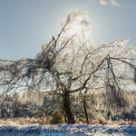 Vom Nebelfrost gebeutelte Birke vom 9. Januar 2015 fotografiert von Rüdiger Manig (Wetterwarte Neuhaus).