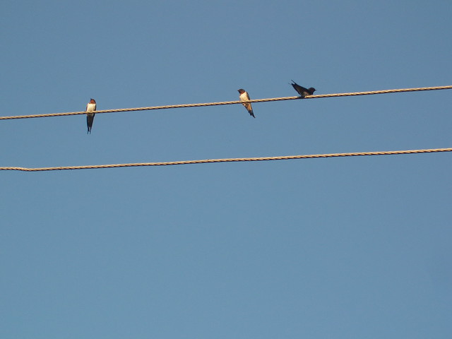 201303200174-swallows