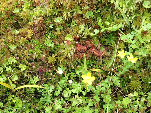 Sphagnum cristatum and inhabitants