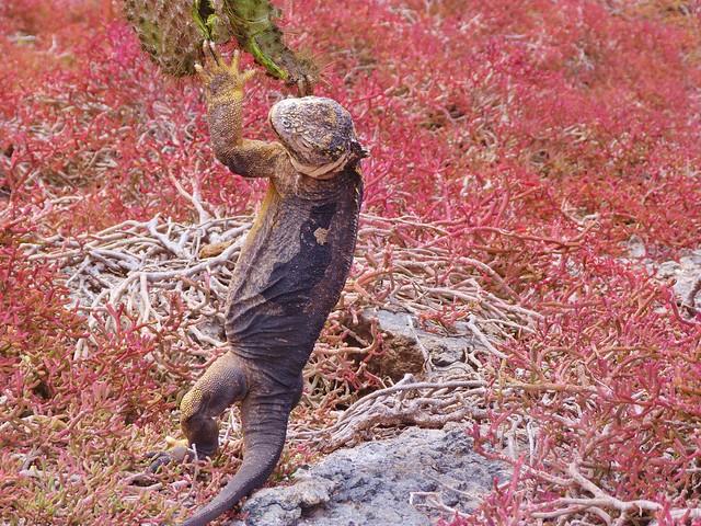 Iguana agarrada a un cactus en isla Plaza Sur (Galápagos)