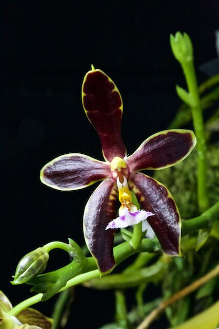Phalaenopsis Mannosa Dark 15906067015_dfde00fab9_z