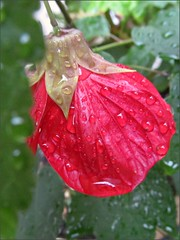 Lucky Lantern Red Abutilon
