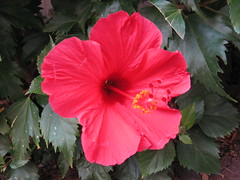 rosa chinensis(0.0), annual plant(1.0), shrub(1.0), flower(1.0), plant(1.0), flora(1.0), chinese hibiscus(1.0), petal(1.0),