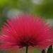 Pink fan by Ania Mendrek