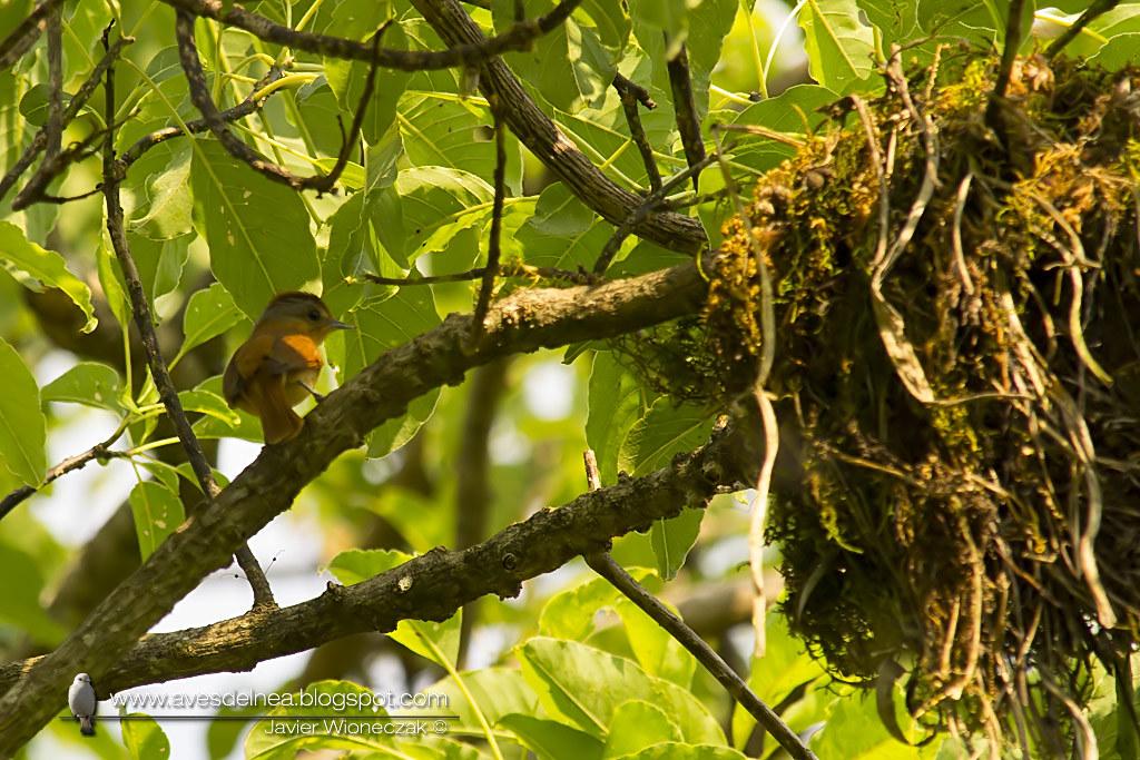 Anambé castaño (Chestnut-crowned Becard) Pachyramphus castaneus