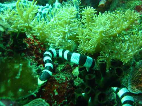 Sea Snake, Puerto Galera