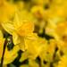 Daffodil--Yellow on Yellow