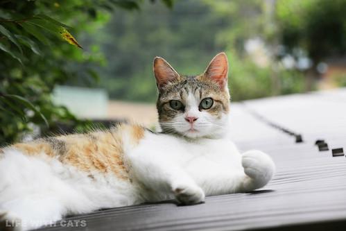 IMG_9244 Calico Japanese cat 縞三毛猫