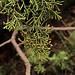 H20121206-6046—Juniperus californica—RPBG