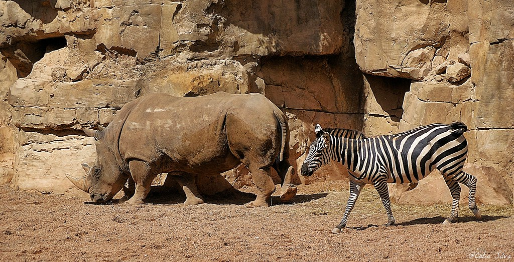 Bioparc Valencia_Sabana (5) Rinoceronte Blanco Sureño_Cebra de Grant