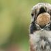 Eurasian jay 📷 Eichelhäher (Garrulus glandarius) Voller Gier, voller Schnabel by peter vogel.troll