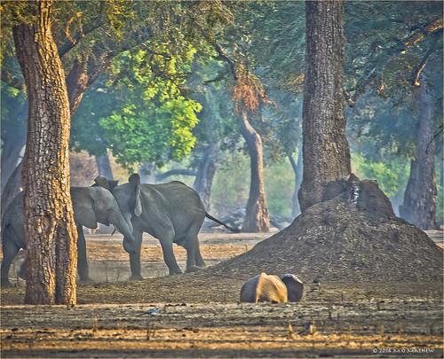 africa elephant safari loxodonta manapools