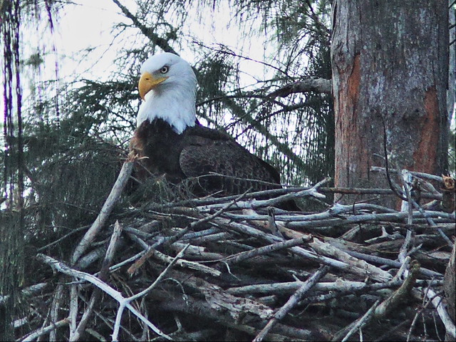 Bald Eagle male in nest 20150102
