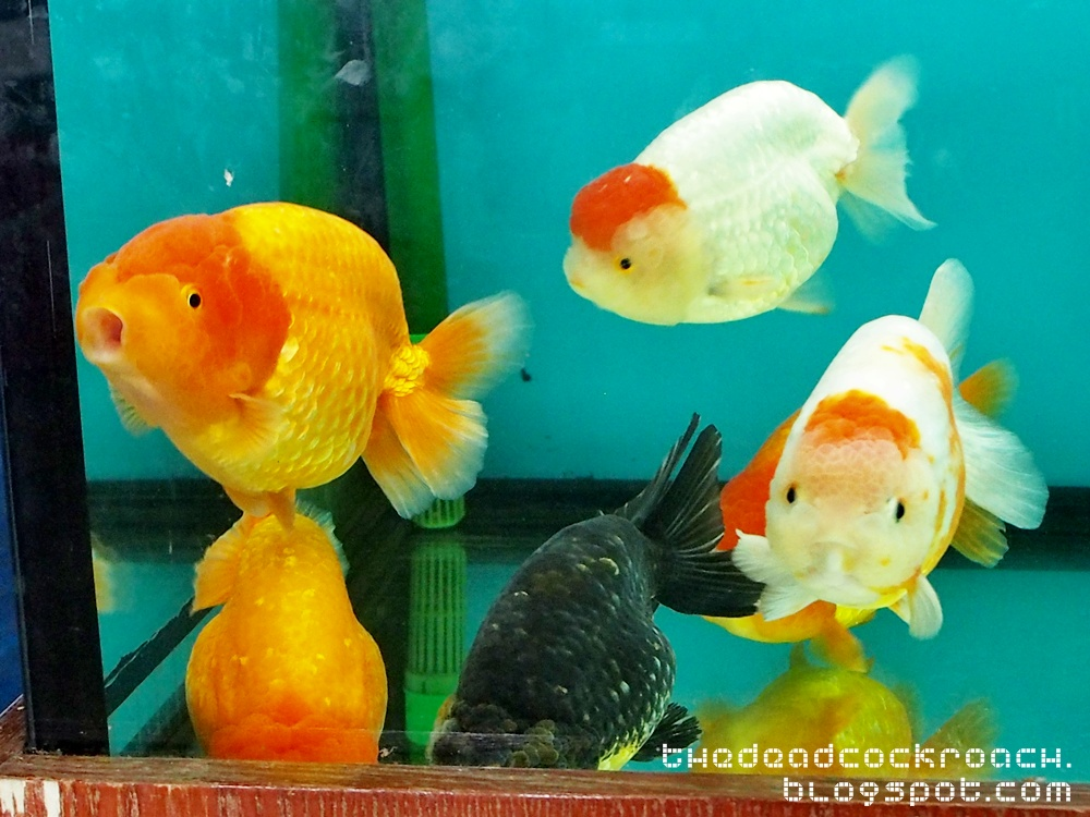 black ranchu, calico ranchu, fish farm, goldfish, jalan lekar, lionhead, qianhu, ranchu, sungei tengah, 仟湖, 仟湖鱼场, qian hu,fishfarm, where to go in singapore, singapore