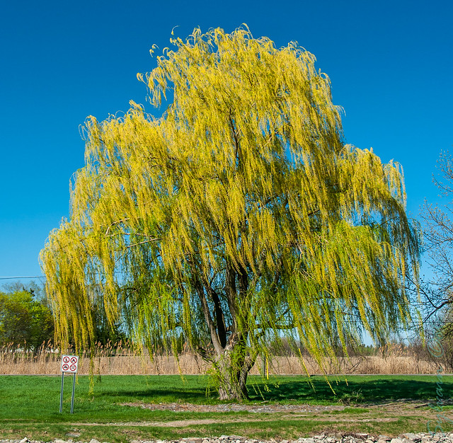 saule pleureur weeping willow salix babylonica flickr photo sharing. Black Bedroom Furniture Sets. Home Design Ideas
