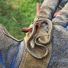 Found this little snake friend while cleaning up some compost piles. :snake::fallen_leaf: