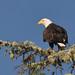 Bald Eagle (Tim Melling)
