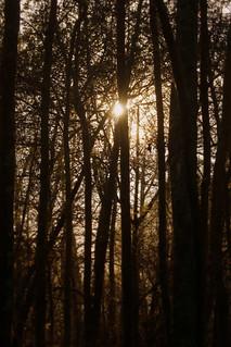 Woodland sunflare