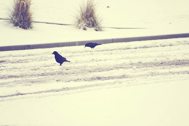 Birds on the road