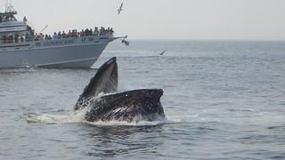 Humpback Whale - what a snapshot;  Stellwagen Bank, Massachusetts