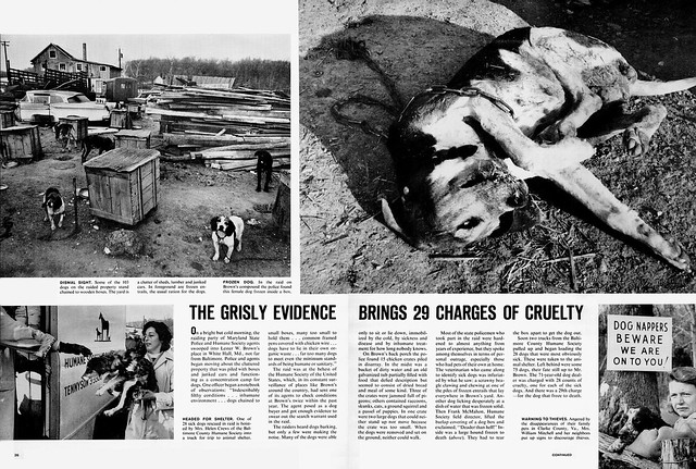 LIFE February 4, 1966 - Concentration Camps for Dogs (3)
