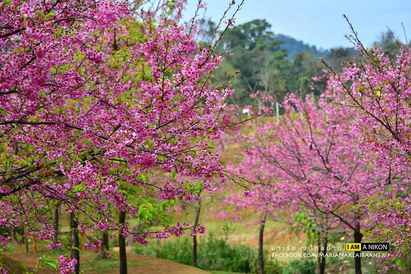 Chiang mai Angkhang sakura trees and flowers