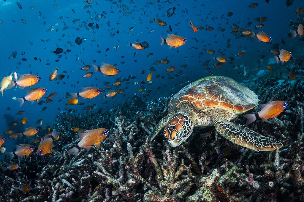 Green turtle Balicasag