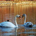 Jamaica Pond Swans by ~ cathy ~