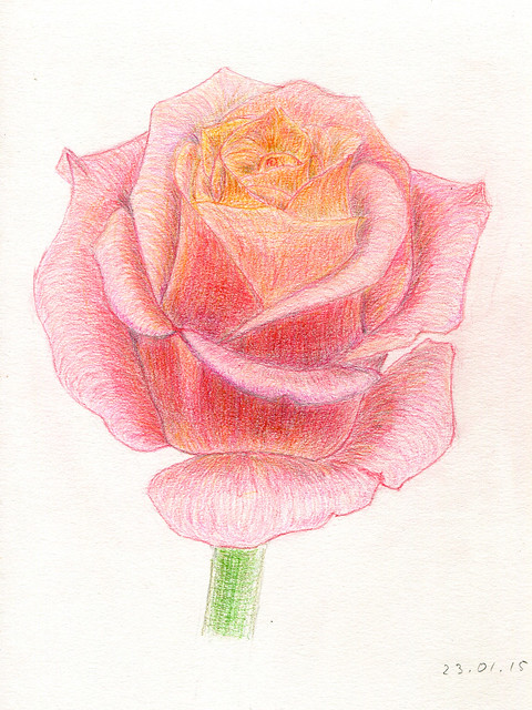 pink rose flower. color pencils. A4