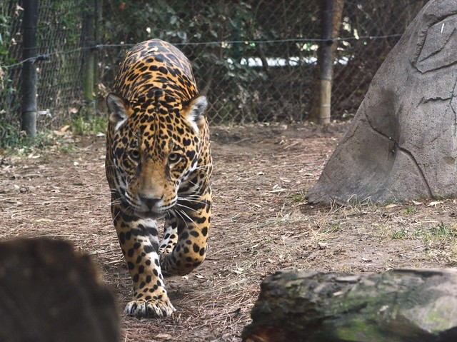 Stalking Jaguar 2