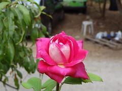 ΤΡΙΑΝΤΑΦΥΛΛΟ / ROSE