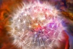 Divine Dandelion