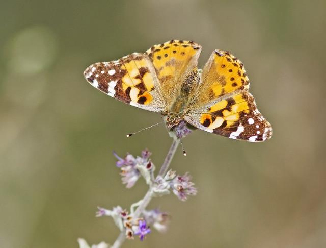 Butterfly TomWellsBLM 7D_1620