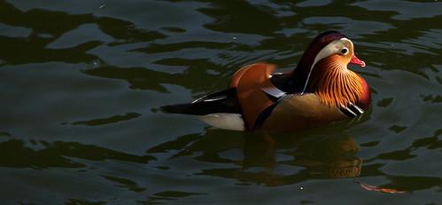 Mandarin staring at some water.