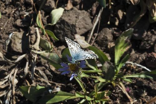 california butterfly skipper lepidoptera arthropod modoccounty hesperiidae pyrgus checkeredskipper pyrginae spreadwingskipper summittrail southwarnerrange